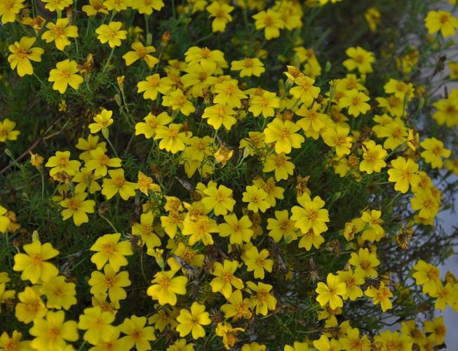 7yers marigold - yellow