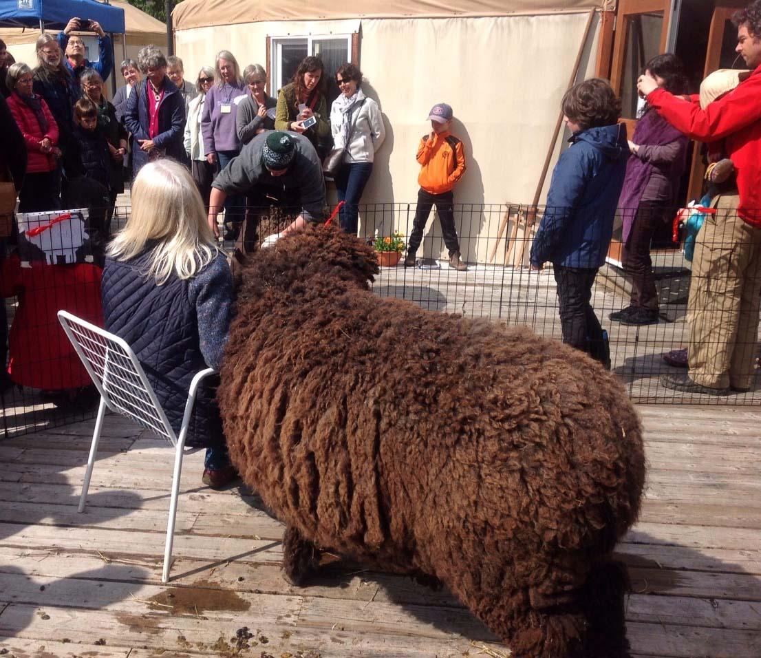 FS YR2_2 Johanna Walker shearing Mojo
